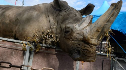 Länder-Vorstoß für Ausweitung des geplanten Wildtierverbots im Zirkus