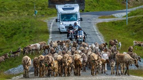 Brücken sollen Schwedens Rentiere retten