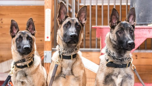 These Elite $125,000 Guard Dogs Are Trained to Detect Danger Before It Happens