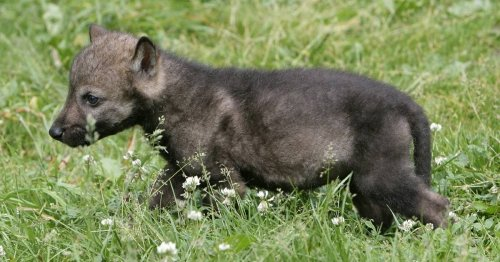 Spaziergänger findet Welpen im Wald am Niederrhein: Junger Hund ist plötzlich ein Wolf