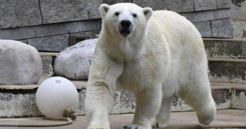 Abschied von Anori: Letzte Eisbärin verlässt Wuppertaler Zoo