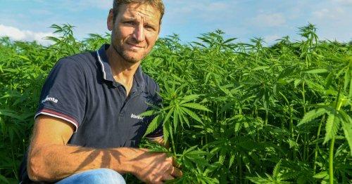 Felder in Kempen und Willich: Hanf-Plantagen auf dem Vormarsch