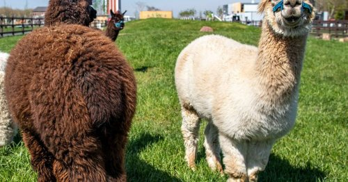 Veterinär rät: Moerser Streichelzoo-Alpakas sollen im Kalisto bleiben – zum Wohle der Tiere