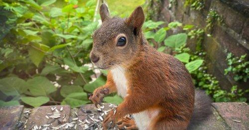 Wilder Besuch: Eichhörnchen im Garten füttern – oder nicht?