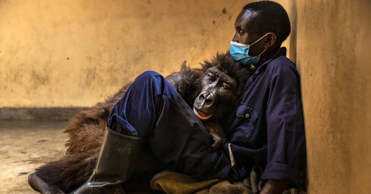 Ndakasi, mountain gorilla who became selfie star dies in the arms of her caretaker