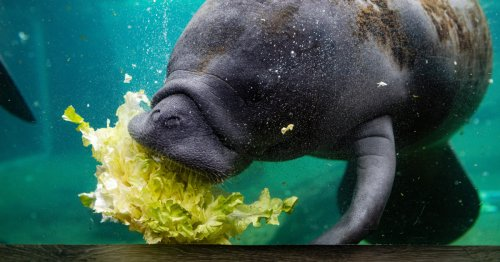 Florida's manatees are dying off at unusually high rates
