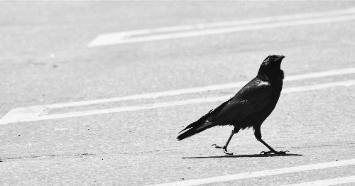 These meat-loving ravens are snatching steaks from Costco customers