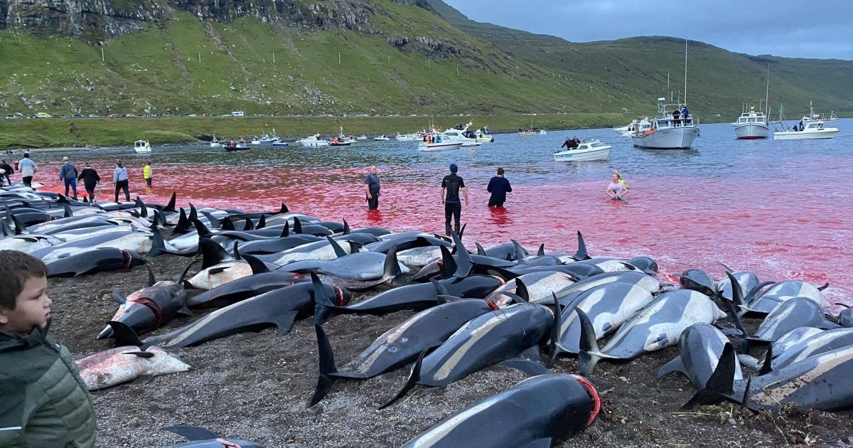 Blood-soaked shoreline leaves locals shaken after annual dolphin hunt in Faeroe Islands