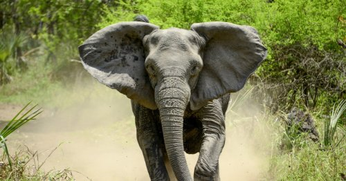 Elephants have evolved to be tuskless in response to ivory poaching, study finds