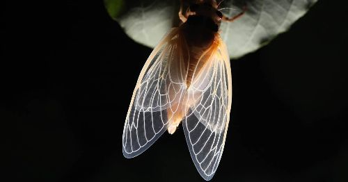 Get ready for Brood X: The once-every-17-years cicada swarm is coming