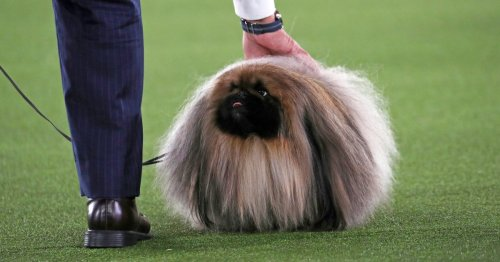 Prime Peke! Wasabi the Pekingese wins Westminster dog show