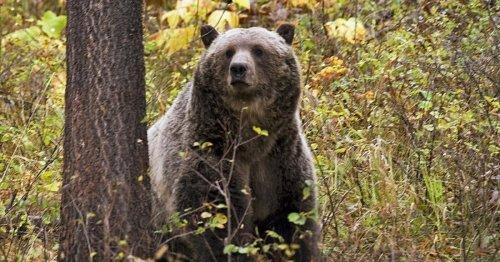 Illinois woman criminally charged in Yellowstone bear encounter