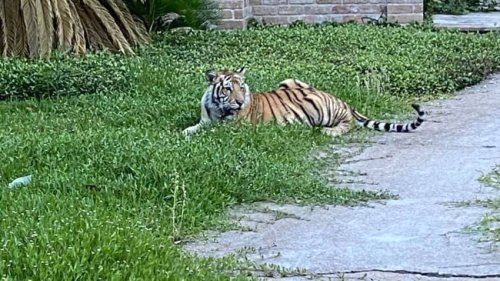 Houston tiger found safe after missing for nearly a week