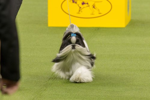 Popular Dog Breeds to Never Win Best In Show At Westminster