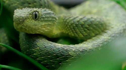 Venomous viper bites San Diego Zoo employee, officials say. There's no antivenin for it