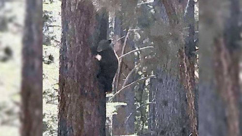 Bear cub that escaped from wildlife center found but not yet caught in South Lake Tahoe