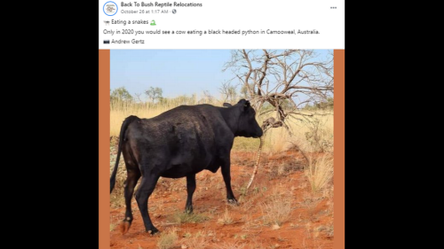 Why was a cow seen chewing on a python's head in remote Australia? Experts have ideas