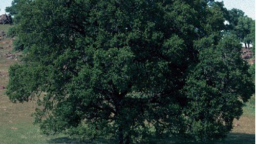 Hundreds of miles of blue oak tree cover exclusive to California have vanished. Why?