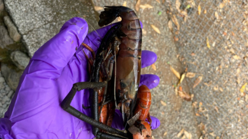 He killed 6,250 crustaceans in Hawaii stream, cops say. His fine is $100 — per animal