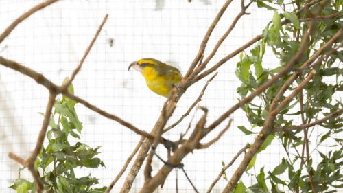 Rare parrot-like bird thought to have died in 2019 mysteriously reappears in Hawaii