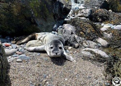 Seal pup rescued in Biddeford