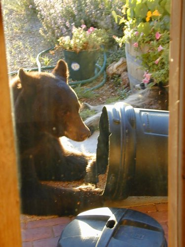 Salida Colorado Wildlife Viewing in central colorado - bears, bighorn sheep and mule deer