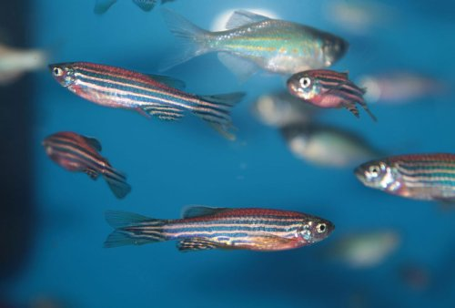 """Zebrafish without """"love hormone"""" neurons show no desire to socialize with each other"""