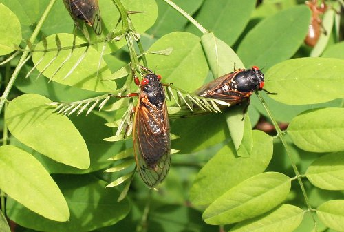 Billions of cicadas are about to take to the skies. Here's what to expect