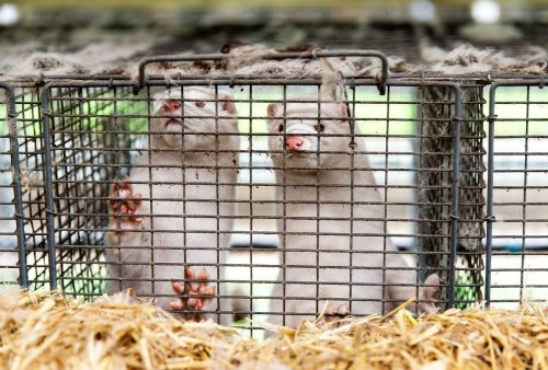 Mink farms, breeding grounds for COVID-19 outbreaks, face a global backlash