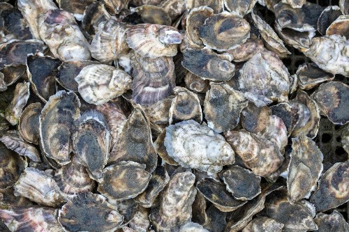 Can oyster reef restoration across the US impact what we eat?