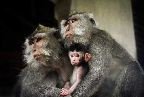 The bioethics of the first human-monkey hybrid embryo