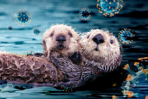 Adorable sea otters are the latest animal to fall victim to the novel coronavirus