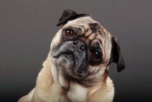 Our smushed-faced dogs are quietly suffering for us