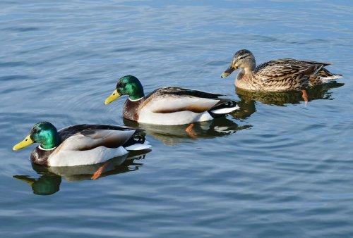 The secret sex lives of ducks
