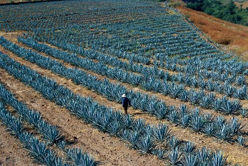 The sustainability challenges that threaten the agave industry