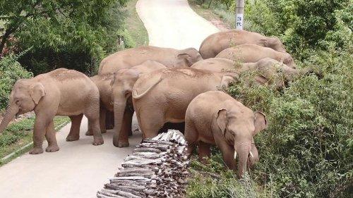 """""""Langer Marsch"""" der Elefanten: Verirrt oder schlau?"""