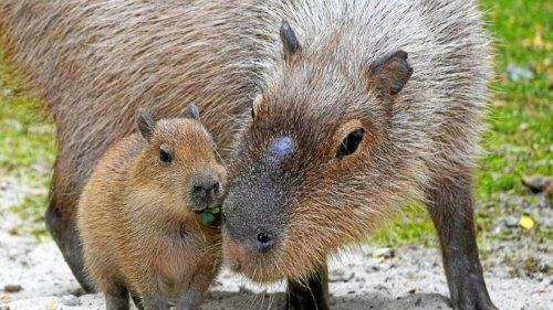 Wasserschweine im Zoo Hannover haben Fünflinge bekommen