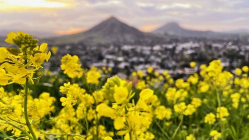 See pictures of wildflowers blooming in SLO County, Big Sur