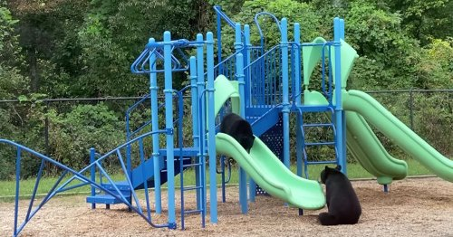 Mama Bear Goes Viral After Helping Cub Go Down Slide