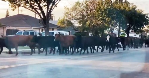 A Herd Of Cows Made A Legen*Dairy* Escape From A Slaughterhouse