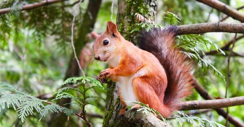 10 Squirrel Coloring Pages That Celebrate Nature's Cutest Environmentalists