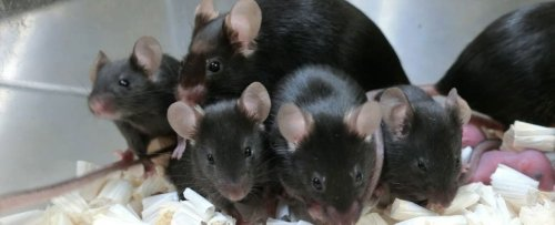 Freeze-Dried Mouse Sperm Survived 6 Years in Space Used to Conceive Healthy Baby Mice