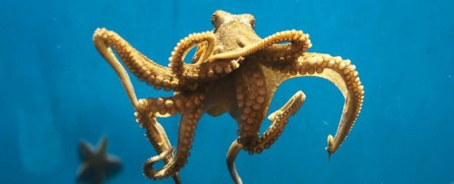 Octopuses Not Only Feel Pain Physically, But Emotionally Too, First Study Finds