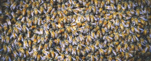 A Single Bee Is Creating an Army of Clones Bent on Wiping Out Another Bee Species
