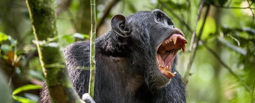 Chimps And Gorillas Seen Going to War in The Wild For The First Time