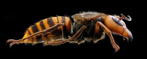 First 'Murder Hornet' of 2021 Has Been Found in The US, And It's in a New Area