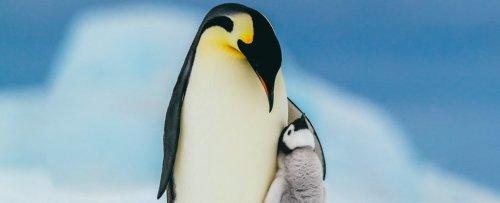 Emperor Penguins on Pathway to 'Quasi-Extinction' This Century, Scientists Warn