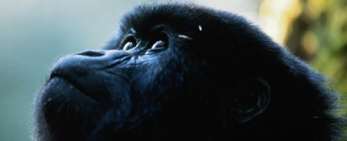 African Great Apes Will Soon Have Almost No Habitat Left at All, Scientists Warn