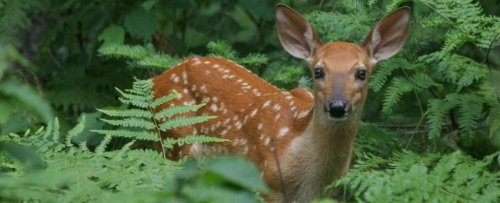Startling Discovery Suggests 40% of Wild Deer in The US Have Had The Coronavirus