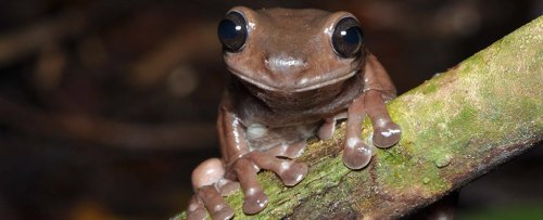 Look at This Newly Discovered, Utterly Adorable 'Chocolate' Frog Species